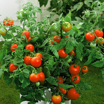 the tomato plant that wouldn t die writer wonderland